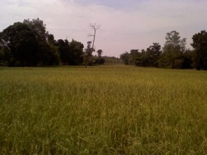 Our Rice Fields in Thailand